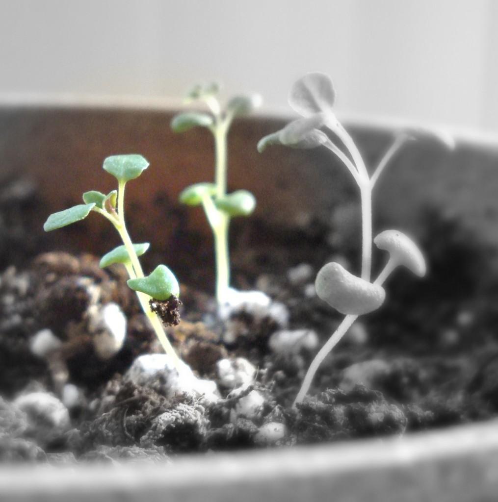 Thyme Seedlings