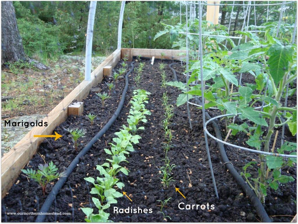Radishes & Carrots