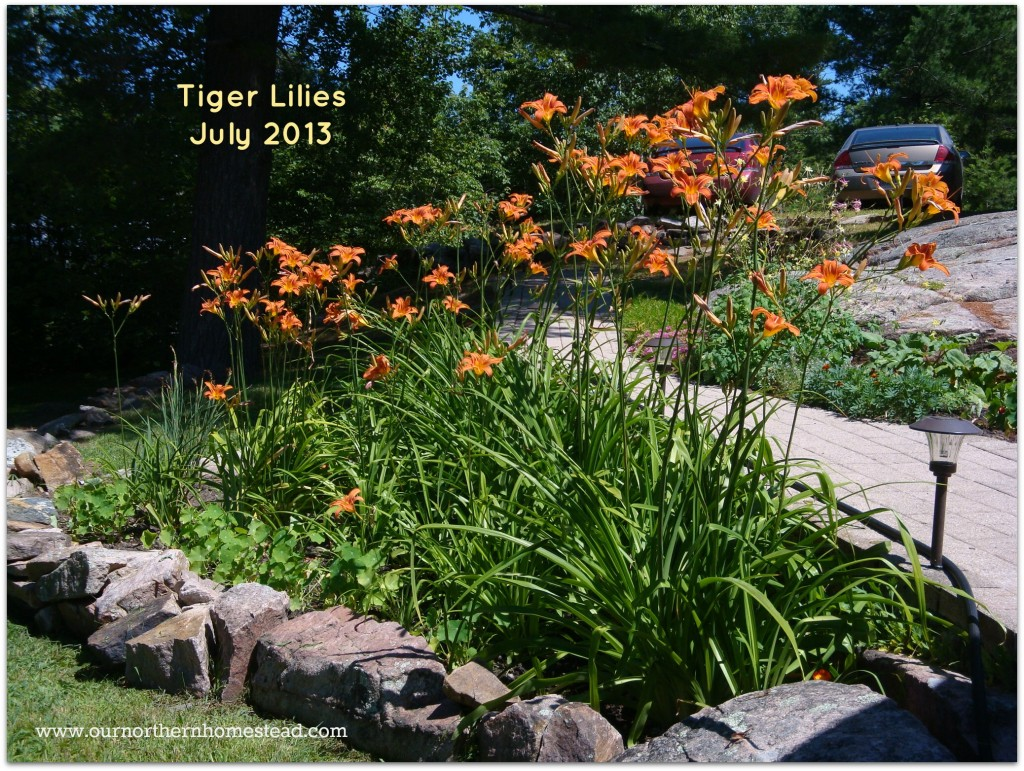 2013 Tiger Lilies