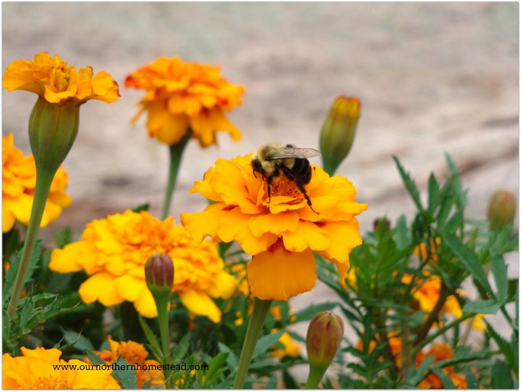 Bumble Marigold