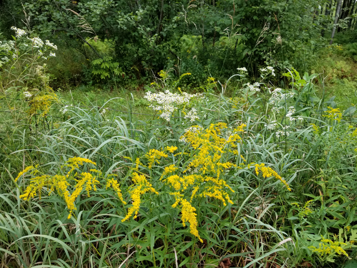 Goldenrod and wild aster